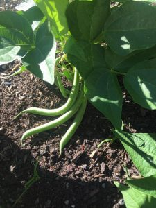 green-beans-mature